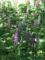 2017/05/05、森林公園。ルピナスの花