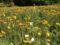 2017/05/05、森林公園。運動広場の花畑より、ポピー