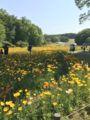 [散歩]2017/05/05、森林公園。運動広場の花畑より、ポピー