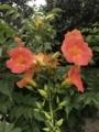 [その他]実家の花。