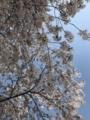 [散歩]2018/03/31、新宿御苑で花見
