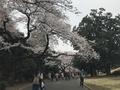 [行楽]2019/03/30、新宿御苑で花見