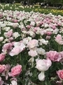 [行楽]2019/04/29、昭和記念公園