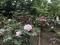 日本庭園内の牡丹。2019/04/29、昭和記念公園