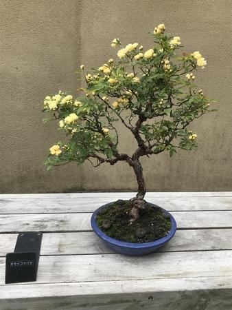モッコウバラの盆栽。2019/04/29、昭和記念公園