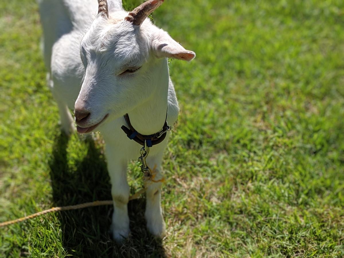 山之村牧場のヤギ