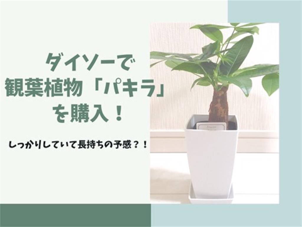 ダイソーの観葉植物パキラ