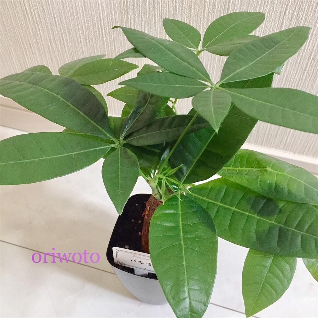 ダイソーのパキラの葉