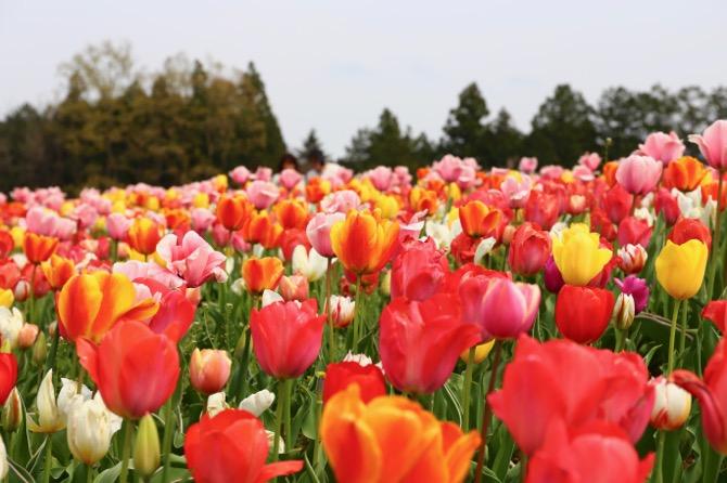 秩父 芝桜の丘 羊山公園 チューリップ畑