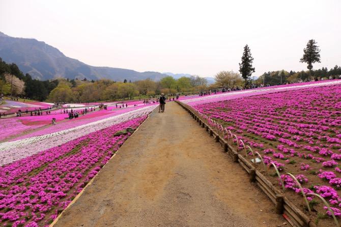 秩父 芝桜の丘 羊山公園7
