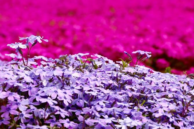 秩父 芝桜の丘 羊山公園12