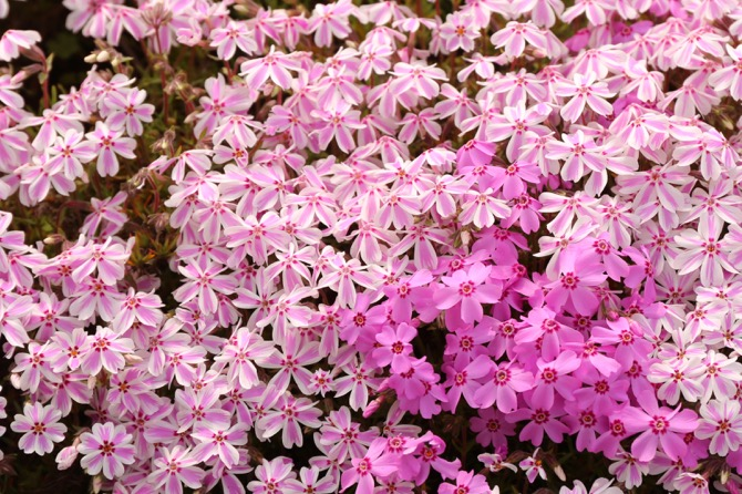 秩父 芝桜の丘 羊山公園13