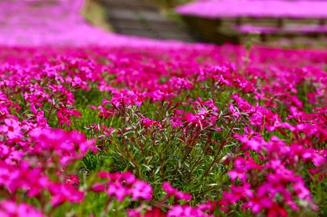 秩父 芝桜の丘 羊山公園11