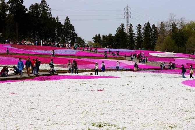 秩父 芝桜の丘 羊山公園2