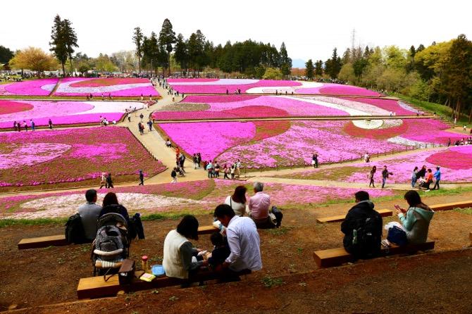 秩父 芝桜の丘 羊山公園4