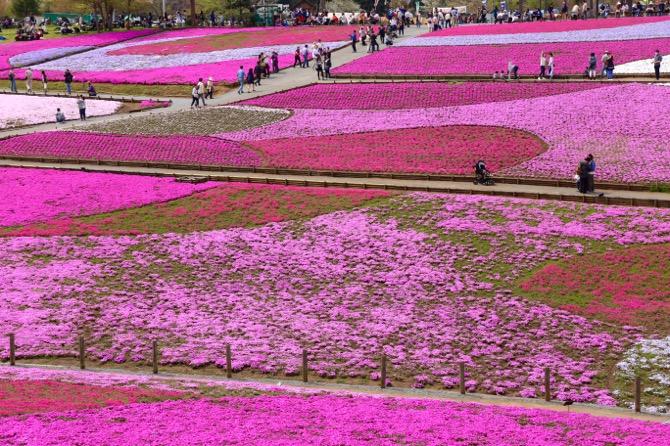 秩父 芝桜の丘 羊山公園5