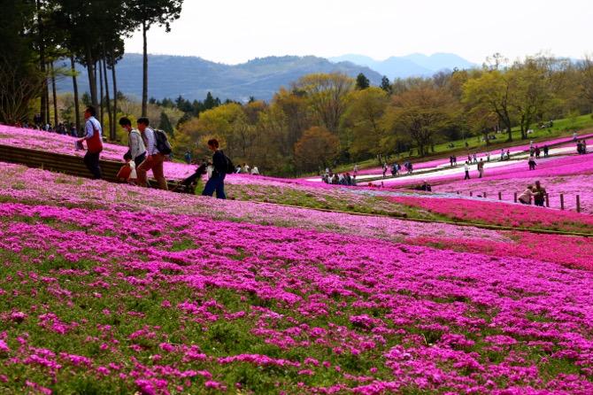 秩父 芝桜の丘 羊山公園6