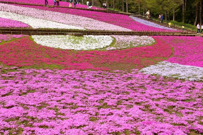 秩父 芝桜の丘 羊山公園8
