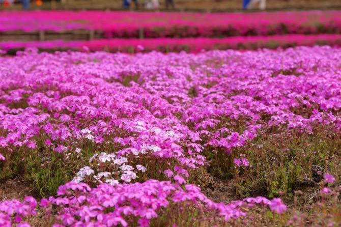 秩父 芝桜の丘 羊山公園10