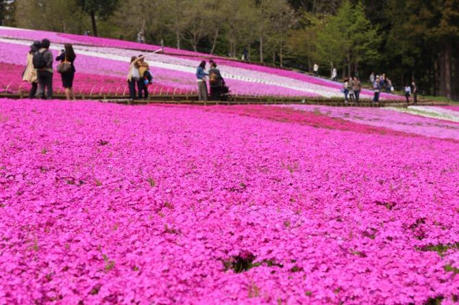 秩父 芝桜の丘 羊山公園9