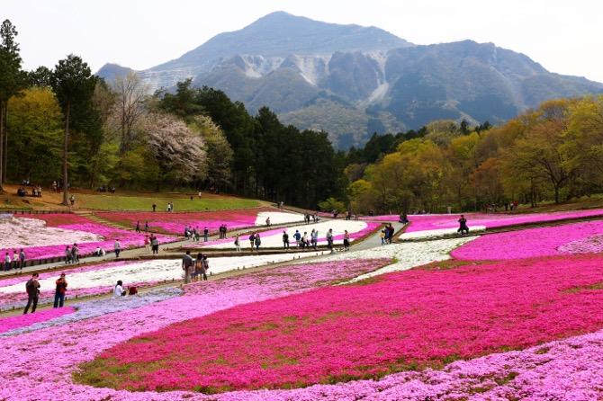 秩父 芝桜の丘 羊山公園1