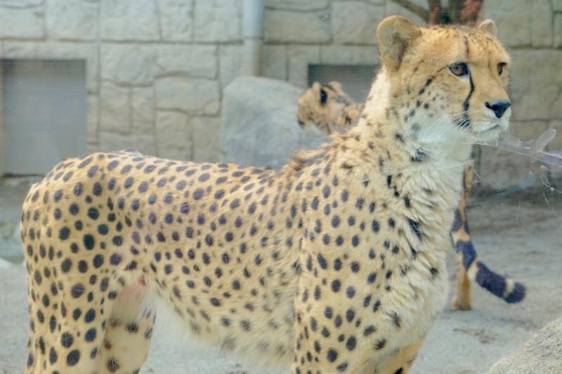 多摩動物公園 チーター1