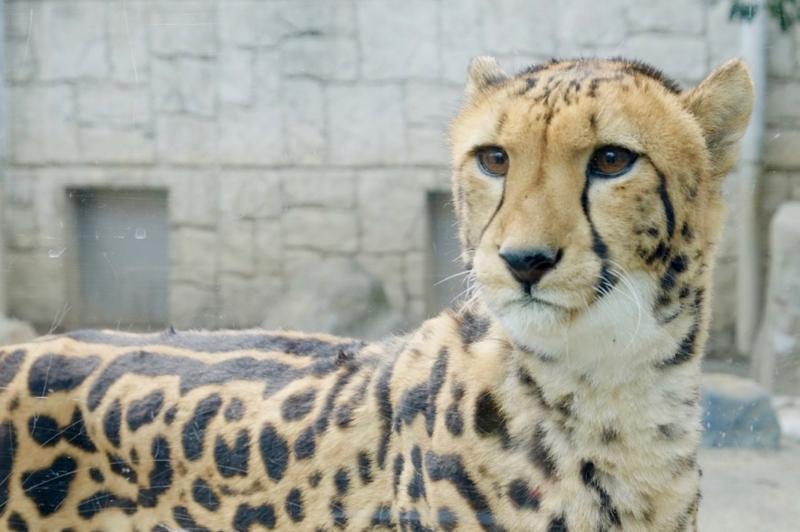 多摩動物公園 チーター2