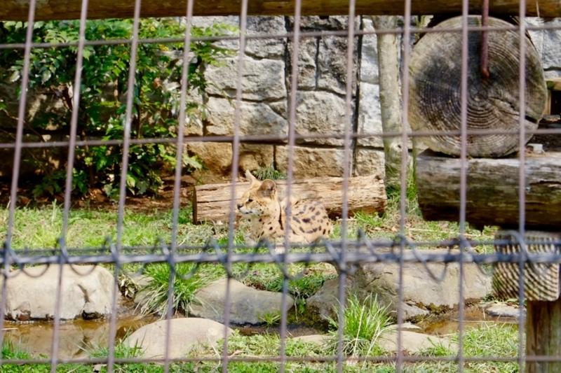 多摩動物公園 サーバル1