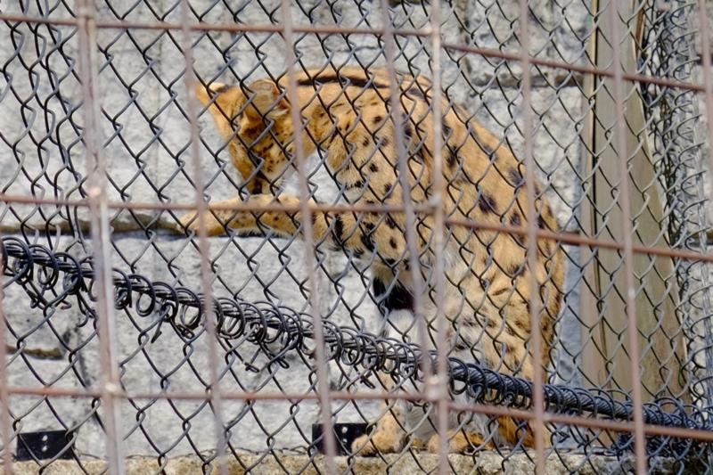 多摩動物公園 サーバル5