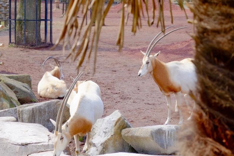 多摩動物公園 シロオリックス