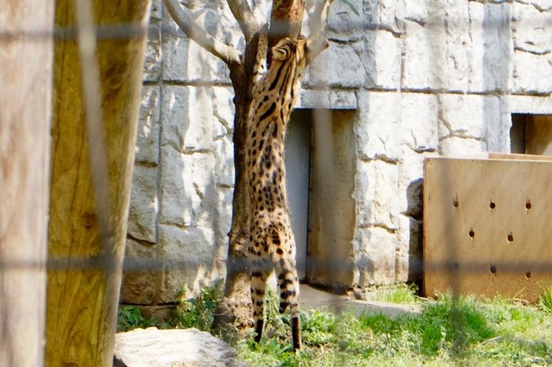 多摩動物公園 サーバル8