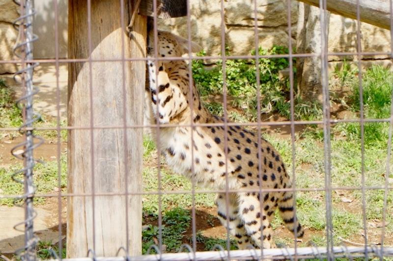 多摩動物公園 サーバル9