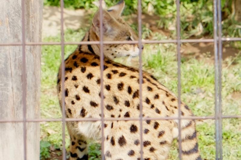 多摩動物公園 サーバル2