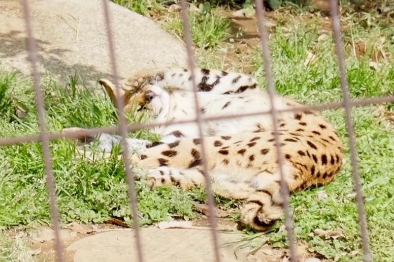 多摩動物公園 サーバル6