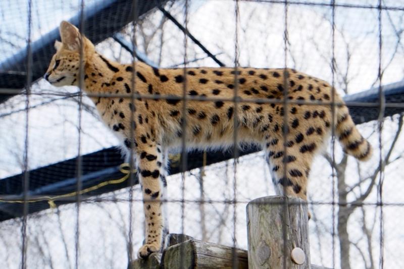 多摩動物公園 サーバル3