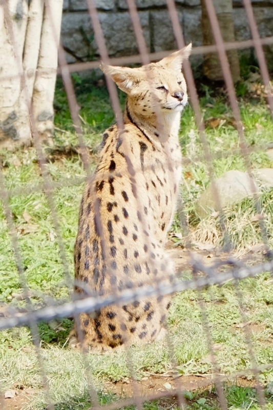 多摩動物公園 サーバル4