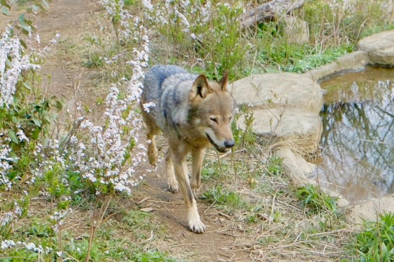 多摩動物公園 タイリクオオカミ かわいい