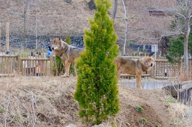 多摩動物公園 タイリクオオカミ