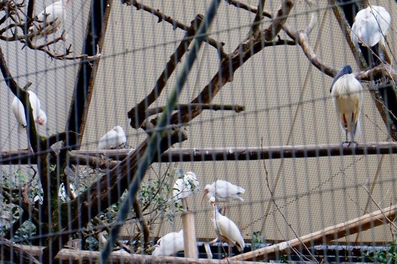 多摩動物公園 トキ