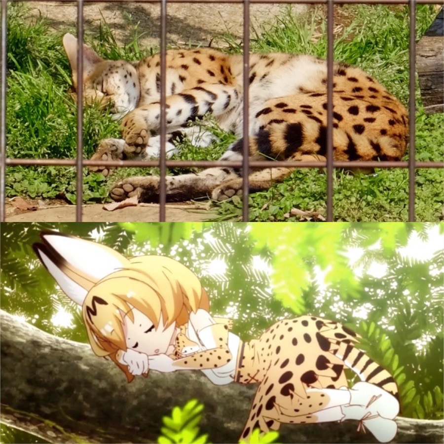 多摩動物公園 サーバルちゃん