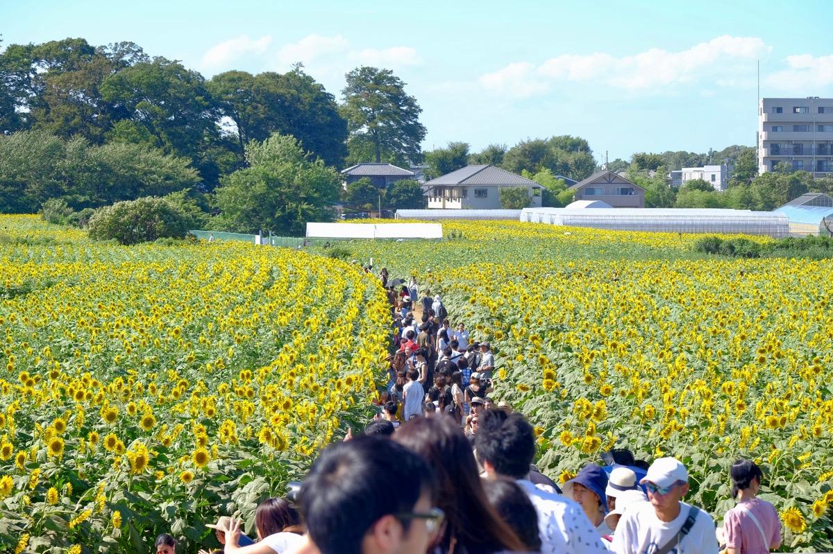 清瀬ひまわりフェスティバルの写真3