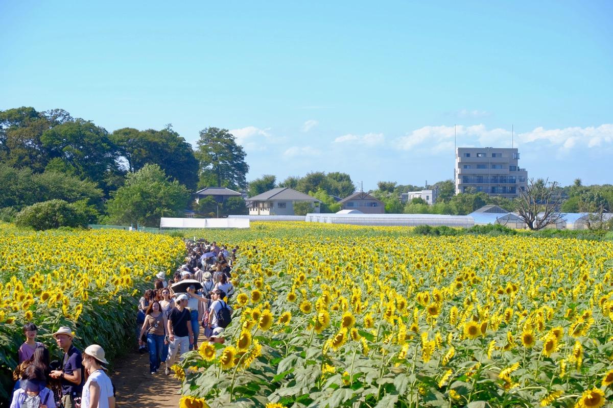 清瀬ひまわりフェスティバルの写真6