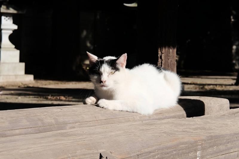 氷川神社(富士見市)の猫2