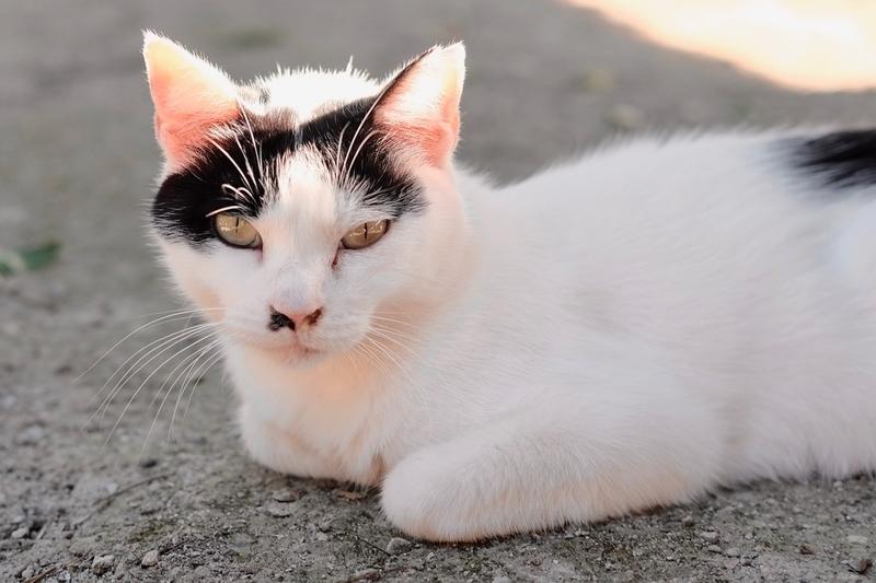 氷川神社(富士見市)の猫