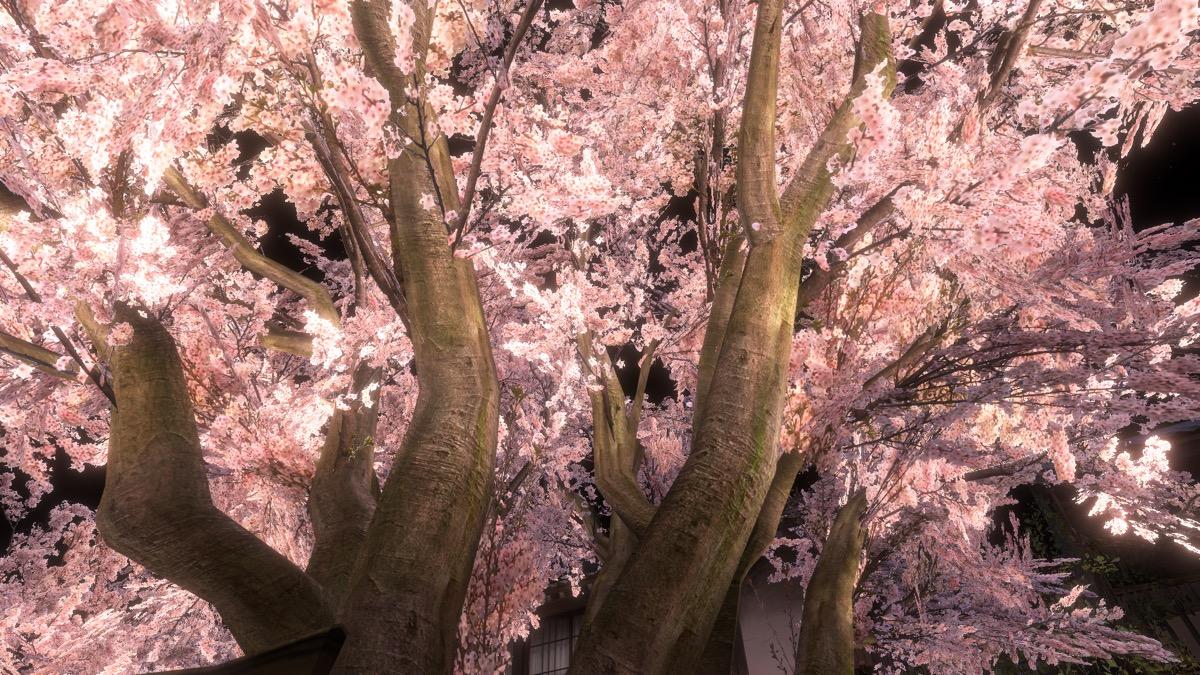 VRChat「SAKURA hiroba-yoru」の千年桜