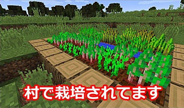 村で栽培されているビートルート