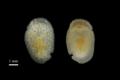 図1. Onchidoris sp. の背面と腹面から見たようす