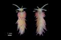 図3. トモエミノウミウシの背面と腹面から見たようす