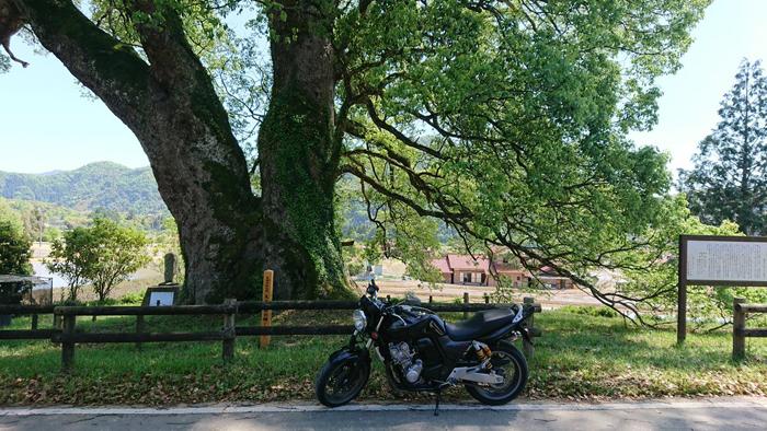 島根県で1番大きな木 池村のクスノキ