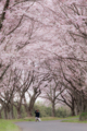 [桜][桜並木]構図を探る